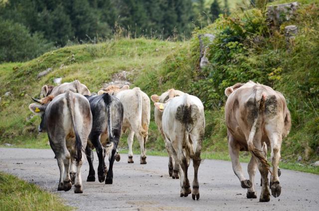 Kuh (9 von 30)